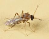 Stilobezzia sp. (male)