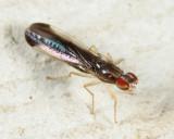 Ischnomyia albicosta