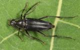 Typocerus lugubris