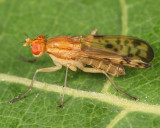 Tetanocera sp.