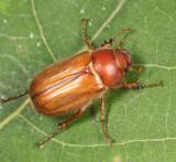 Phyllophaga tristis complex (female)