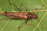 Bellamira scalaris (female)