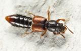 Bledius sp.