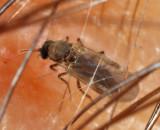 Culicoides sp.