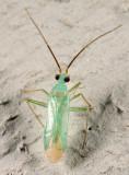 Blepharidopterus provancheri