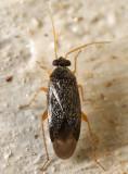 Phoenicocoris strobicola