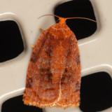 3661 - Ugly Nest Moth - Archips cerasivorana