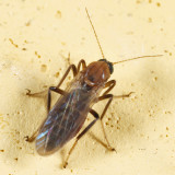 Stilobezzia sp. (female)