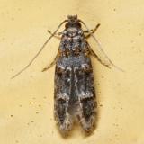~0296 - Stenoptinea sp.