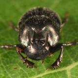 Onthophagus striatulus