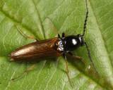 Click Beetles - Subfamily Lissominae