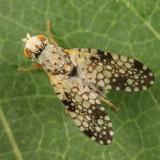 Campiglossa albiceps