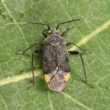 Polymerus venaticus