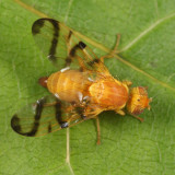 Rose Hip Fly - Rhagoletis basiola