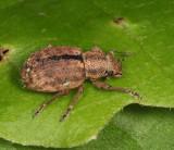 Nut Leaf Weevil - Strophosoma melanogrammum