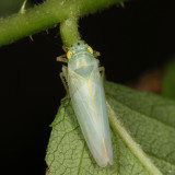 Leafhoppers genus Pagaronia