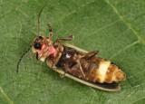 Photinus marginellus/curtatus complex