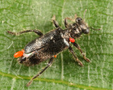 Phyllobaenus humeralis
