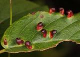 Blaesodiplosis sp. (gall midge galls)