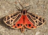 8197 - Virgin Tiger Moth - Grammia virgo