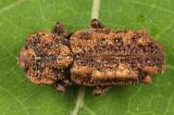 Phellopsis obcordata