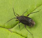 Polymerus opacus