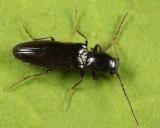 Oestodes tenuicollis