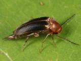 Mordellistena fuscipennis