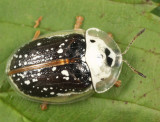 Sunflower Tortoise Beetle - Physonota helianthi