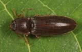 Hemicrepidius memnonius