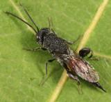 Phasgonophora sulcata