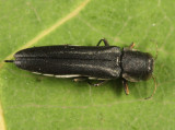 Two-lined Chestnut Borer - Agrilus bilineatus