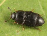 Carpophilus sayi