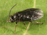 Atomacera debilis (male)
