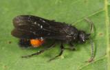Dasymutilla vesta (male)