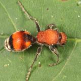 Dasymutilla bioculata (female)