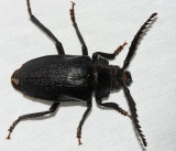 Broad-necked Root Borer - Prionus laticollis