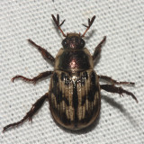 Oriental Beetle - Anomala orientalis
