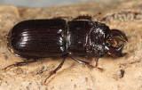 Stag Beetles - Lucanidae