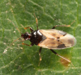 Calliodis temnostethoides