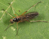 Dialysis elongata (male)