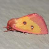 11055 - Pink Star Moth - Derrima stellata