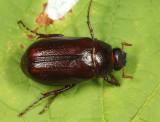 Phyllophaga marginalis