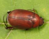 Asiatic Garden Beetle - Maladera castanea