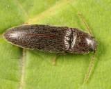 Melanotus trapezoideus