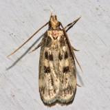 1065 – Martyringa latipennis