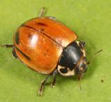 Lady Beetles - Genus Myzia