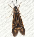 Zebra Caddisfly - Macrostemum zebratum
