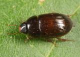 Helocombus bifidus (teneral)