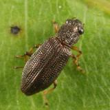 Hydrochus subcupreus